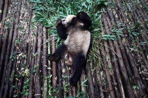 In Sichuan, one of China's most populous and fastest developing provinces, the wild panda is becoming increasingly rare (Image: Sean Gallagher)