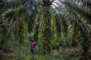 A farmer harvests the palm oil at a plantation in Gunam village, West Kalimantan, Indonesia. (Image:  Afriadi Hikmal / Greenpeace)