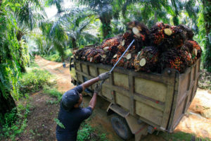 palm oil plantation worker loads oil palm bunches onto truck