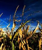 corn growing in fertile soil