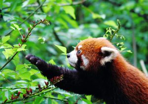 The red panda, native to Yunnan province, is threatened by habitat loss and fragmentation (Image byksbuehler)