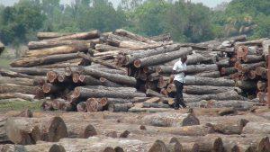 中国从莫桑比克进口的木材中,约有一半是不合法的。(图片来自:EIA)