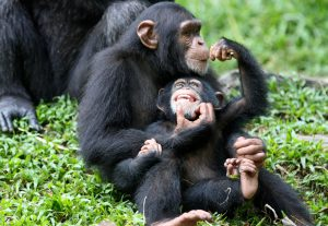 Almost all the apes trafficked from Guinea are young, Interpol found. Juvenile apes are easier to catch and transport. (Image byShiny Things)