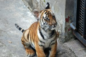 China might be better off trying to save the four subspecies of tiger that remain in the country, rather than reintroduce the South China tiger, argues the International Union for the Conservation of Nature (Image by Harvey Barrison)