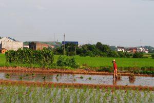 攸县石羊塘镇南田村的村民在稻田里插秧。2013年,产自这里的稻米被检出镉超标。