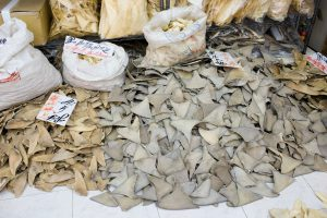 pile of shark fins used for illegal trade. Global trade in shark fins is now declining