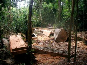 Felled hardwood trees. The trade in illegal timber risks destruction of tropical habitats and forests that soak up greenhouse gases. Image by George Powell)