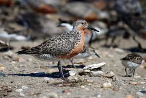 The Red Knot on Chinese wetland