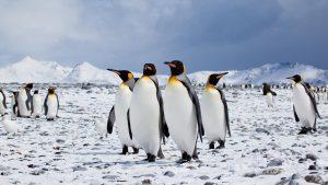 crowd of emperor penguins