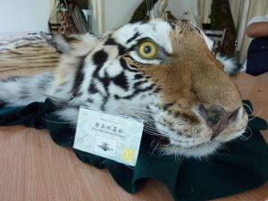 taxidermy tiger skin run in Xiafeng