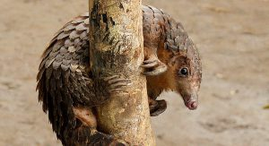 Pangolins are being hunted to extinction fortheir meat and scales, mainly to meet demand in China and Vietnam(Image by Bart Wursten)