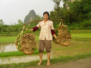A female Chinese farmer carries rice plants