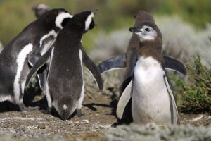 Numbers of penguins have fallen sharply in the wake of overfishing (Image by Martin St-Amant)