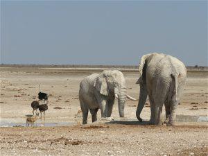 Elephants in northern Namibia.
