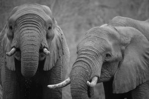 Elephants arenow extinct in the Middle East, on the Indonesian island of Java, northern Africa and most of China(Image by Casey Allen)