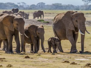 A herd of bush elephants in the Amboseli National Park, south Kenya