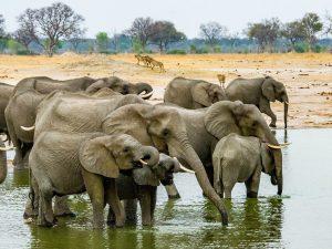 Elephantsin Hwange National Park, Zimbabwe. (Image bySteven dosRemedios)