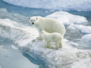 Ice loss is adding to the plight of polar bears living in a marginalised Arctic zone, which can end up stranded on ice bergs. (Image bysheilapic76)