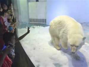 Pizza the polar bear paces his enclosure in China's Grandviewmall. Pizza is a major draw for shoppers but the unnatural environmenthas caused global outcry (Image by weibo)