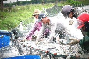 Tilapia fisheries harvest