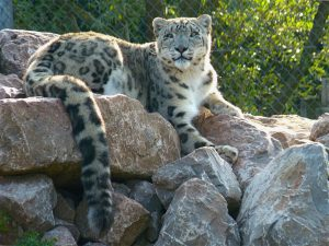 A snow leopard in south lakes safari zoo. (Image bydamian entwistle)