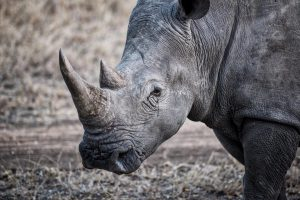 Trade in rhino horn is completely illegal but demand from Vietnam and China fuels poaching and smuggling, putting the rhinos at risk of extinction(Image: Alamy)