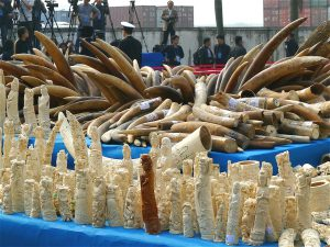 Elephant ivory in Guangzhou in 2014 prior to being destroyed (Image: IFAW)