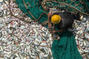 The catch on board a Chinese fishing vessel in Guinea (Image: Pierre Gleizes / Greenpeace)