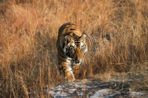 Reports that wild tiger numbers are on the rise are misleading (Image: Elliott Neep)
