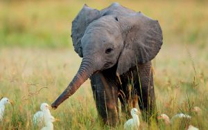 Too cute to lose (Images: elephant wiki)