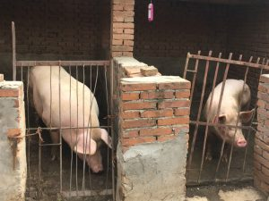 pigs in cage in China