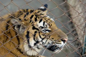 "In the name of ""conservation"" China's tiger farms have fuelled the sale and consumption of tiger parts, encouraging the destruction of the species (Image: Alamy)"