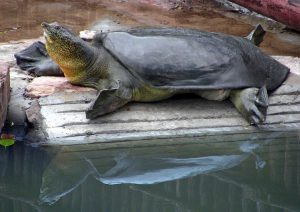 One of the world's three remaining Giant Softshell Turtles in Suzhou Zoo. (Image: Gerald Kuchling/Turtle Survival Alliance)