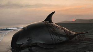 曾经畅游于墨西哥科特斯海蔚蓝浅滩的鼠海豚,如今生活仅剩下16头。图片来源:Frédérique Lucas
