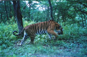 A wild Siberian tiger, photographed in its natural habitat by the Beijing Normal University research team (Image: Beijing Normal University)