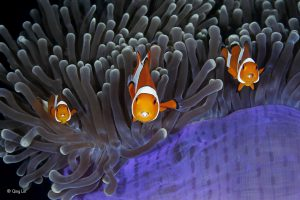 'The insiders' Qing Lin / Wildlife Photographer of the Year. The clown anemone fish goes unharmed by the stinging tentacles of the anemone thanks to mucus secreted over its skin, which tricks the anemone into thinking it is brushing against itself. ​