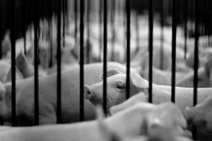 Pigs on a farm in the United States (Image: Kevin Chang)