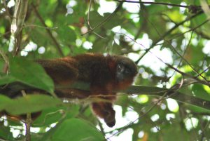 The titi Caquetá monkey, found near Sinochem's Nogal oil block, is considered one of the 25 most endangered primates in the world (Image: Javier García)