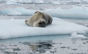 A leopard seal in the Antarctic(Image:Christian Åslund / Greenpeace