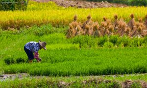 The findings could have a disproportionate impact on maternal and child health in the poorest rice-dependent countries (Image: olly301)