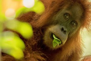 The Tapanuli orangutan, one of the world's rarest apes, is imperilled by a hydropower project in Sumatra, Indonesia (Image: Maxime Aliaga)