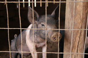 """集约化农业加速了这种病毒的传播,在过去三个月里,这种病毒已经导致20万只动物死亡(图片来源:<a href=""""https://pixabay.com/en/piglet-pig-pig-pen-pig-sty-pork-677049/"""">Wanderer</a>)"""