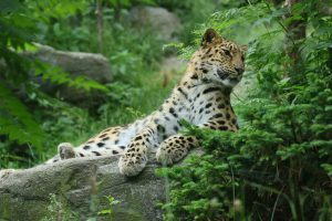 Amur leopards are critically endangered with maybe 60 living in the wild and around 200 in zoos around the world. (Image: zoofanatic)