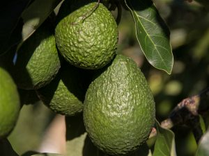 Avocado imports to China have increased eight-fold in the last four years, driven by middle-class appetites in Shanghai and Beijing (Image: sandid)