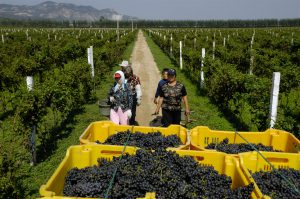 Chinese farmers pick grapes in a vineyard in Changli county, Hebei province.(Image: