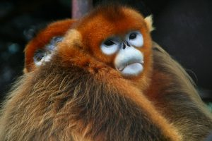 Native to central and southwest China, the golden snub-nosed monkey is endangered (Image: Jack Hynes)
