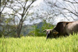 哥伦比亚西南部考卡省的林草复合畜牧系统。图片来源:Neil Palmer