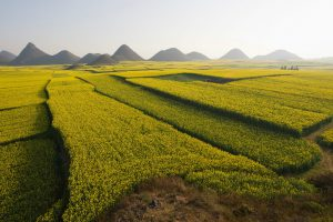 Many subsistence farms in China are being replaced by commercial monoculture, risking the loss of traditional crop varieties (Image: Alamy)