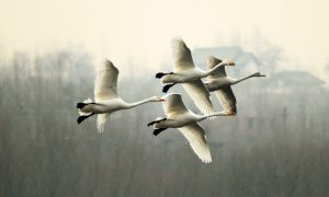 Whooper swans at Sanmenxia (Image: Alamy)