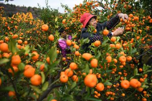 Oranges have been produced in Nanfeng, Jiangxi province for over a thousand years (Image: Xinua / Alamy)
